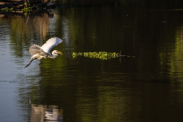 Egret flying with a fish