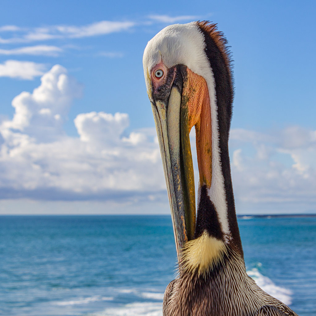 Pelican on the Oceanside Pier
